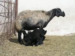 پرورش گوسفند داشتی 150 راس ویرایش سال 97