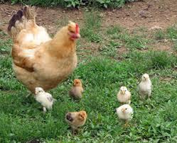 پرورش مرغ بومی 3000 قطعه