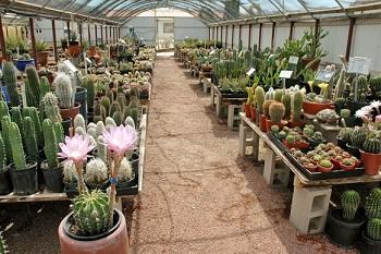 پرورش گلخانه ای کاکتوس زینتی 30 هزار بوته