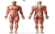عضلات بدن انسان به طور کامل