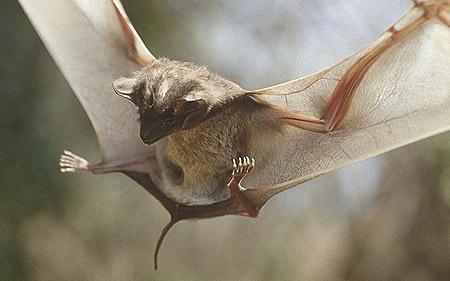 تحقیق در مورد راسته خفاش ها
