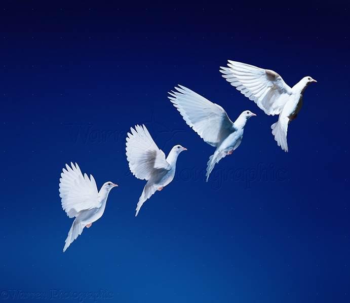 مقاله بررسی میزان تابعیت وزن جوجه ها از والدین و میزان همبستگی درون خویشاوندی در چهار توده کبوتر ایرانی