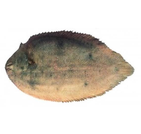 مقاله استخراج و شناسایی ترکیبات طبیعی موجود در کبد و بافت عضله ماهی کفشک زبان گاوی