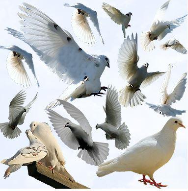تصاویر لایه باز کبوتر ها