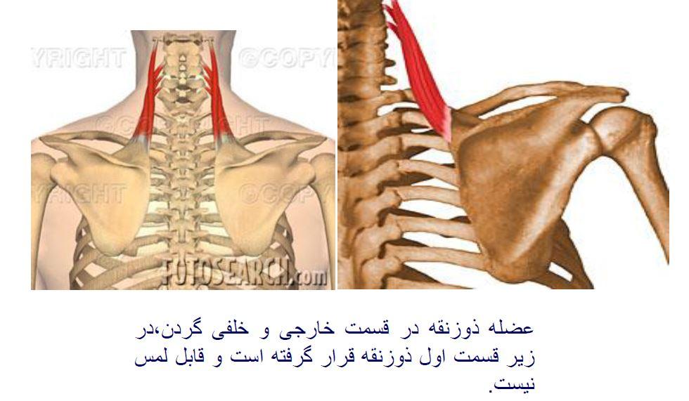 پاورپوینت عضلات بدن انسان