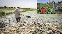 بررسی چگونگی تغییرات فسفر قابل جذب خاک در نتیجه اجرای عملیات آبیاری با فاضلاب خام شرق اهواز