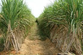 کنترل میکروبیولوژیک در کارخانه نیشکر، افزایش کیفیت شکر و کاهش ضایعات