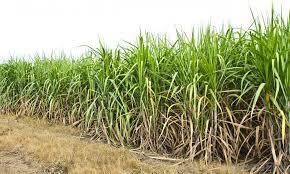 مراحل فرایند تولید قند و شکر از چغندر قند