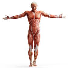 مقاله آناتومی و فیزیولوژی