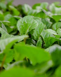 تحقیق درباره عوامل موثر بر تجمع نیترات در سبزیها