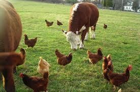 تحقیق درباره گاو و دامپروری