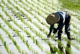 تحقیق درباره کیفیت دانه برنج معطر
