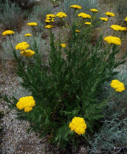 گیاهانن دارویی