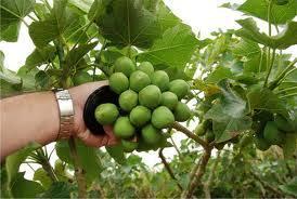 تحقیق دانه گیاهی جاترافا  جهت کارگاه استخراج روغنهای خوراکی