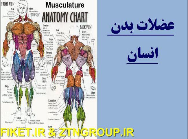 دانلود کتابی در رابطه با عضلات بدن انسان