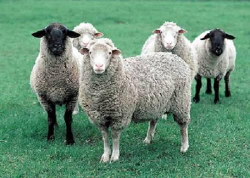 آناتومی گوسفند (انگلیسی)