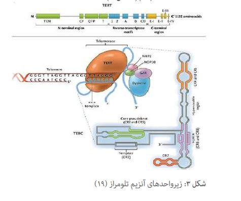 مقاله تلومر ها، انتهای کروموزوم و آنزیم تلومراز به عنوان نشانگر های زیستی سرطان