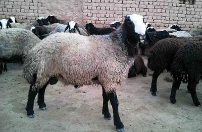دانلود  پاورپوینت درباره اقتصاد گوسفنداری در 25 اسلاید