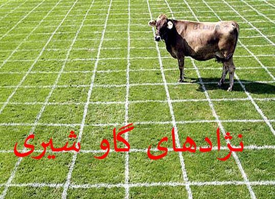 """پاورپوینت """"معرفي نژادهاي گاوهاي بومي ايران"""" در 29 اسلاید"""
