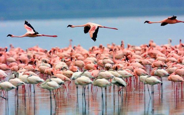 پرندگان دریاچه ارومیّه