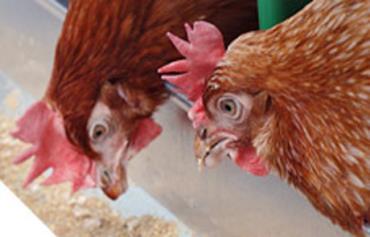 کارگرفنی سالن پرورش مرغ مادر