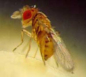 تکنسین تکثیر زنبور تريكوگراما