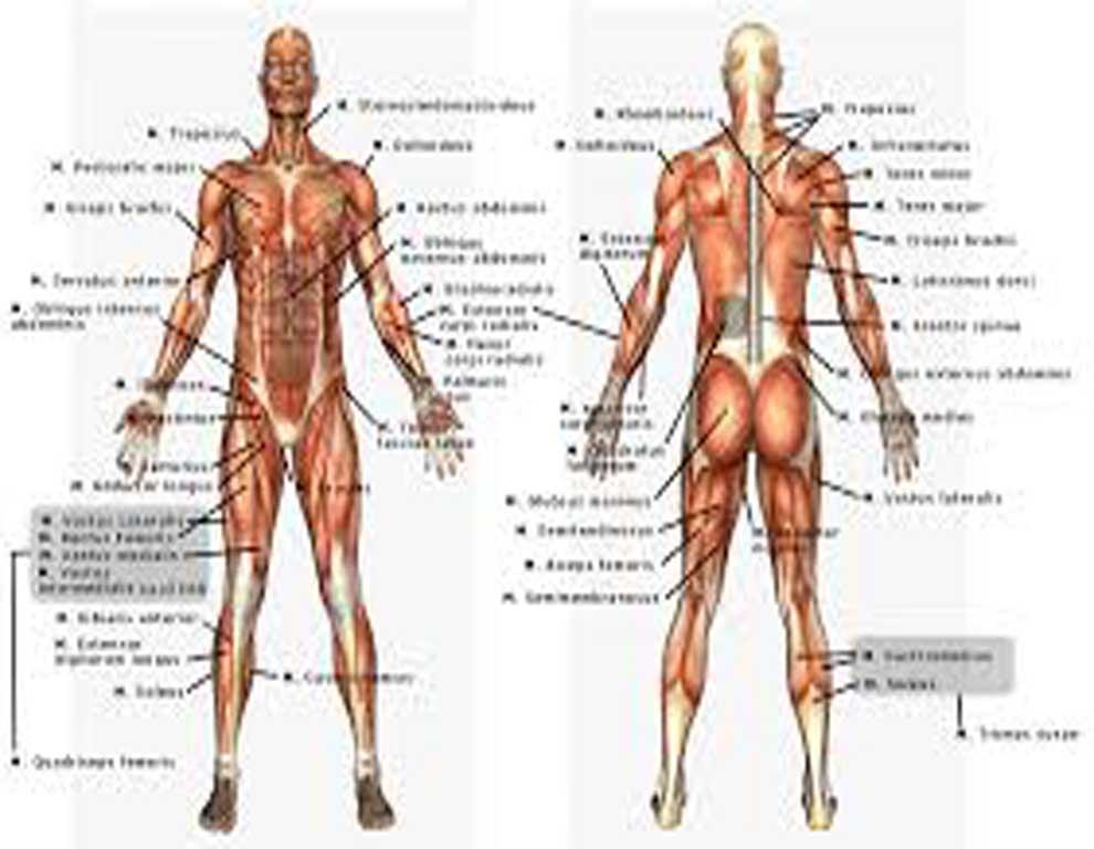مجموعه 26 مقاله در مورد آناتومی بدن انسان