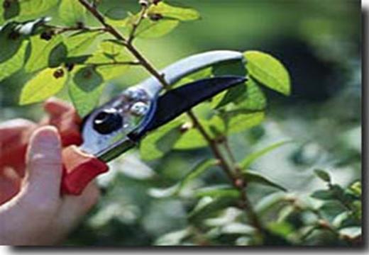 پاورپوینت بررسی هرس درختان میوه